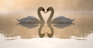 Swans forming love heart