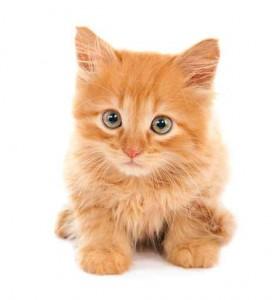 Sad red-haired kitten
